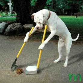An image of a large dog collecting animal waste from his yard.  He is holding a rake and dustpan.